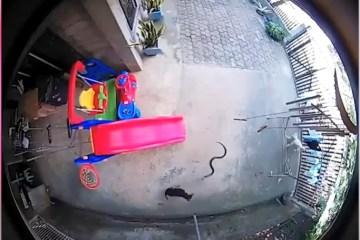 Capturar 79 - Cães atacam cobra para proteger menina de 1 ano - VEJA VÍDEO