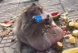 Macaco superobeso desaparece, e veterinários temem que ele tenha se isolado para morrer