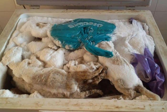 1 leaosj 12498832 - Mais de 20 filhotes de leão são encontrados dentro de freezer - VEJA VÍDEO