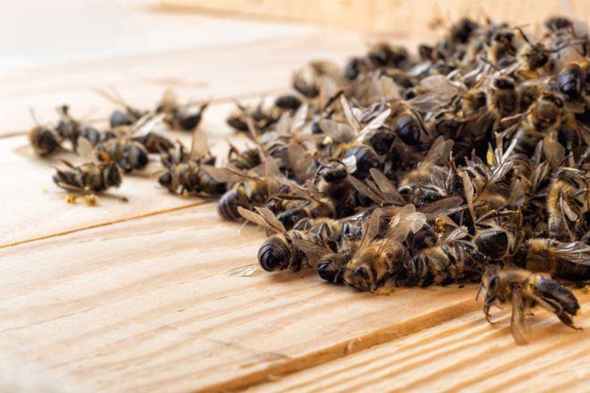 108833259 gettyimages 1017735538 - Agrotóxico Fipronil mata 50 milhões de abelhas em Santa Catarina