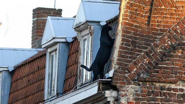 xblog panther 2.jpg.pagespeed.ic .Edyyv6C3ms - Pantera negra atravessa telhados de cidade a aterroriza moradores na França; VEJA VÍDEO
