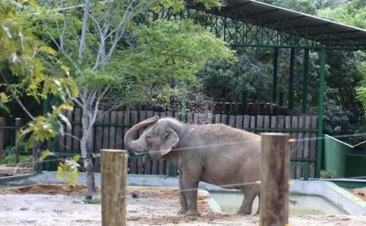 Elefante 300x185 - Destino da elefanta Lady pode se definido nesta sexta-feira