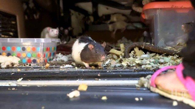 xblog rats 0.jpg.pagespeed.ic .LpsMRpd mD - Mulher que vivia com 320 ratos em carro é obrigada a entregar os roedores; VEJA VÍDEO