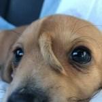 1 cachorro 14255130 - UNICÓRNIO?! filhote de cachorro com rabo na cabeça viraliza na web