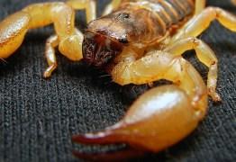 QUASE 2 MIL CASOS: Picadas de escorpião em João Pessoa atingem o maior número de pessoas em seis anos