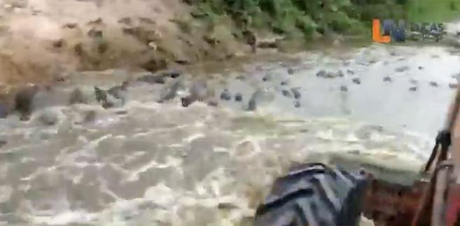 Trator invade rio no Pantanal e passa por cima de centenas de jacarés