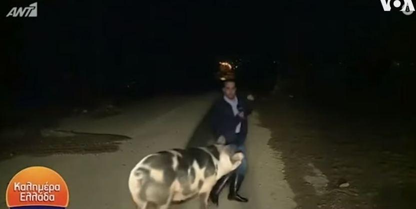 porco reporter - Porco persegue repórter durante participação ao vivo em programa - VEJA VÍDEO