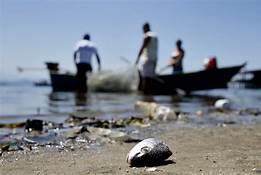 Estudo mostra que peixe de áreas atingidas por óleo pode ser consumido