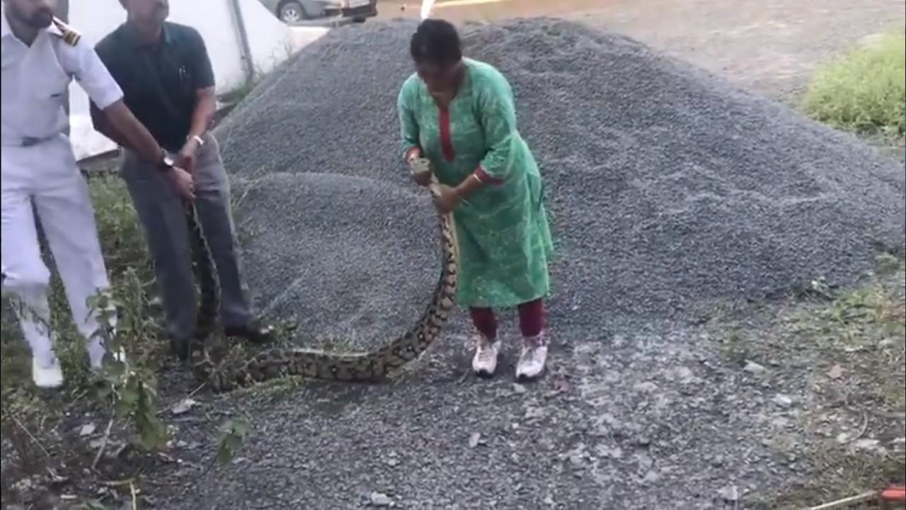 píton - Mulher lidera resgate de píton de 20 kg e captura cobra com as próprias mãos - VEJA VÍDEO