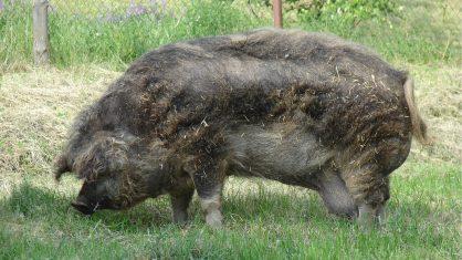 mangalitsa 418x235 - Fazendeiro de 71 desmaia e é devorado por seus porcos