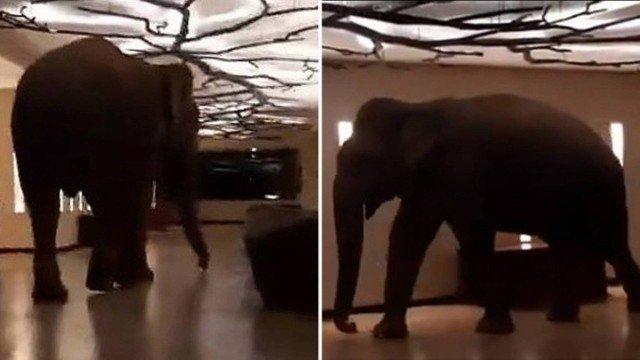 xblog elephant.jpg.pagespeed.ic .Lj8HV2fNIL - Elefante selvagem invade hotel e se torna 'hóspede regular' - VEJA VÍDEO