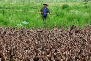 A TROPA DOS PATOS: China envia 100 mil patos para deter 400 bilhões de gafanhotos – VEJA VÍDEO