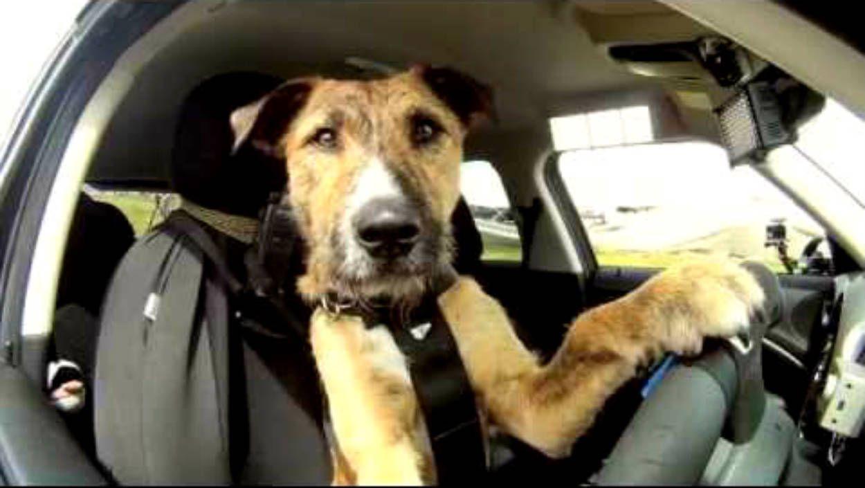CachorroDirigindo 1 - Polícia persegue homem após acidente e descobre que cadela estava no volante