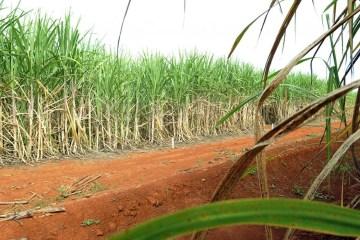 cana de acucar 1 - Tecnologia brasileira produz etanol a partir do bagaço da cana