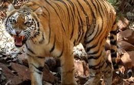 Tigre de zoológico em Nova York tem resultado positivo para coronavírus