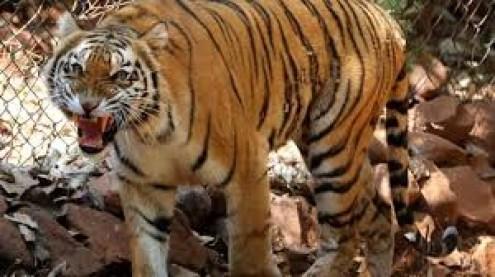 download 5 - Tigre de zoológico em Nova York tem resultado positivo para coronavírus