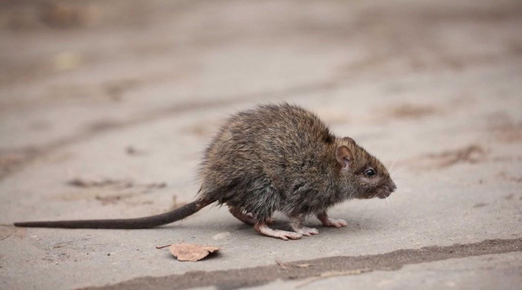 4554 99224204564BEDF3 1024x570 - Ratos estão infectando humanos com hepatite e ninguém sabe como, aponta estudo