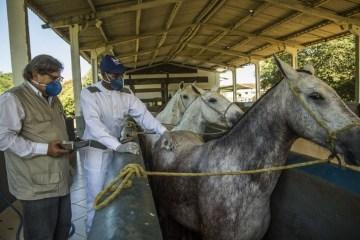 cavalos soro - Soro produzido com anticorpos de cavalos pode ajudar a combater Covid-19
