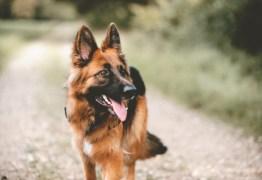 Pastor alemão é o primeiro diagnóstico oficial de cachorro com coronavírus