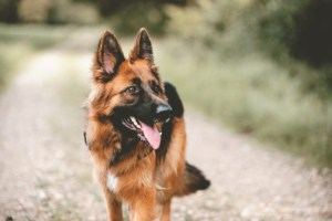 shutterstock 715885999 696x465 1 300x200 - Pastor alemão é o primeiro diagnóstico oficial de cachorro com coronavírus