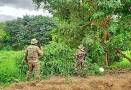 Polícia erradica 538 mil pés de maconha durante operações no Sertão de Pernambuco