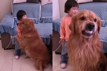 image 4vsjJXc - Golden retriever protege menina que chora ao ser repreendida pela mãe e viraliza