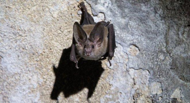 morcego vampiro no teto de uma caverna 27102020144927955 - Morcegos praticam distanciamento social quando estão doentes, aponta estudo
