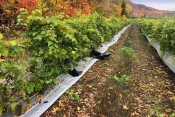 Ladrões levam todas as uvas de vinícola um dia antes da colheita