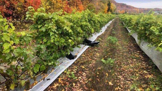xblog grapes.jpg.pagespeed.ic .WHNjGZaPaP - Ladrões levam todas as uvas de vinícola um dia antes da colheita
