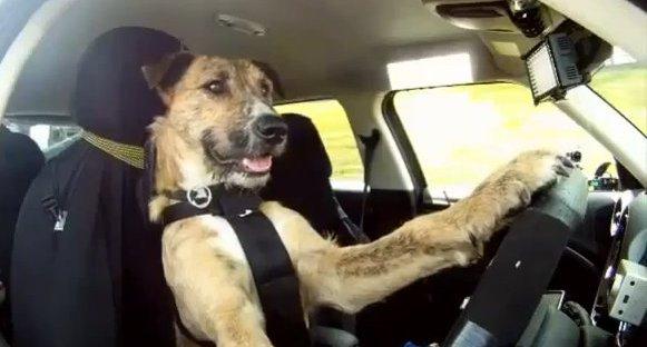 cao dirigindo - Após bater o carro, mulher se recusa a fazer teste do bafômetro e alega que cachorro dirigia o veículo