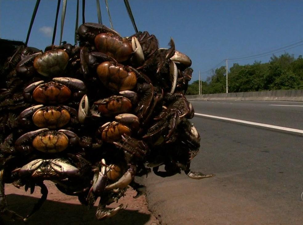 regulamentacao uca - Começa nesta quinta-feira (14), período de defeso do caranguejo-uçá, na Paraíba