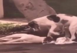 Cão atropelado é cuidado por 'amigo' da mesma raça por mais de uma noite até ser socorrido