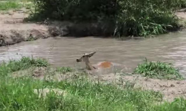 impl - Impala escapa de crocodilo, mas é devorado por leopardo depois