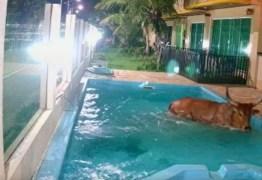 FARRA DO BOI: boi danifica carros, invade pousada e cai dentro de piscina