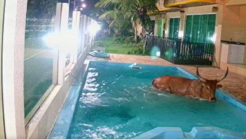 boi - FARRA DO BOI: boi danifica carros, invade pousada e cai dentro de piscina