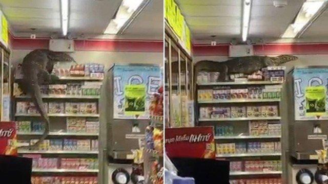 dragao de komodo - Dragão-de-komodo invade supermercado e escala prateleiras