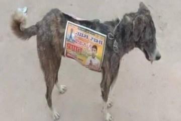 Candidatos na Índia usam cães de rua como 'cabos eleitorais'