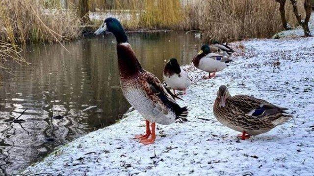 xblog duck 3.jpg.pagespeed.ic .YxGIp4nKs8 - Pato que vive em universidade impressiona pelo tamanho