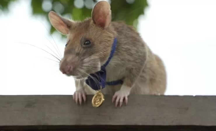 ratinho - Magawa, o rato 'herói' que detecta minas terrestres se aposenta com honras no Camboja