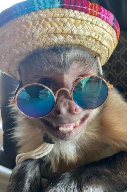 xblog george 2.jpg.pagespeed.ic .KrLgEQLlw4 - Macaco que tinha 17 milhões de seguidores morre ao ir a veterinário tratar os dentes