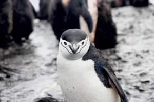 Will chinstrap penguins go extinct?