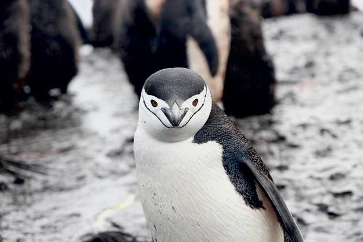 Will chinstrap penguins go extinct?