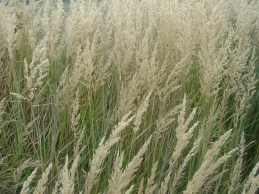 Polish farm grass