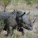 Botswana witnesses surge in rhino poaching incidents