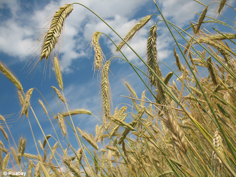 Ethiopia to launch wheat production project to minimise on importing