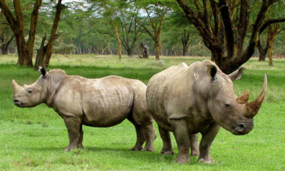 Scientists successfully fertilise eggs from last two female northern white rhinos