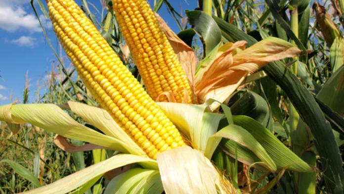 TMO verilerine göre Türkiye 115 bin ton mısır ithal etti