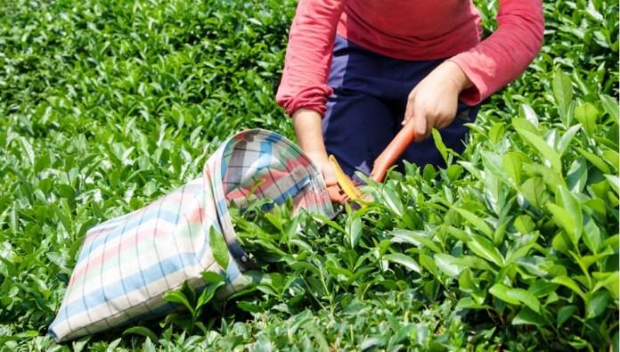 Çay hasadında çocuk işçilerin emeği