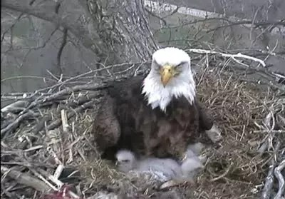 The Raptor Resource Project Updates What Could Be Happening With Third Bald Eagle Egg That Has Yet To Hatch Shown Here From Cam On