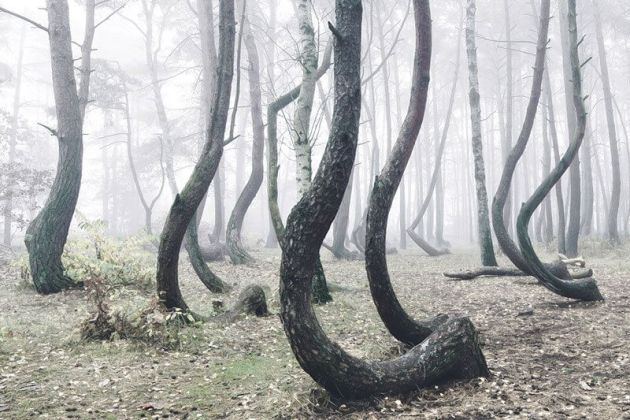 Polonya'daki eğri orman
